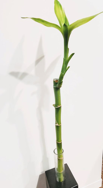 Lucky Bamboo plant for sale
