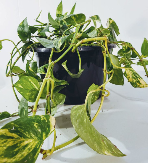 Marble queen houseplant in pot