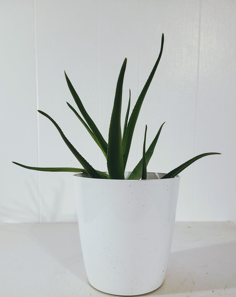Aloiampelos ciliaris, or climbing aloe is a fun and fresh indoor or outdoor plant option.