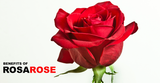 Rose and its symbols of attraction