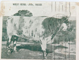 "1909 RARE ""WORLDS RECORD BULL"" SOUTH AUSTRALIAN PRE-PAID POSTCARD"