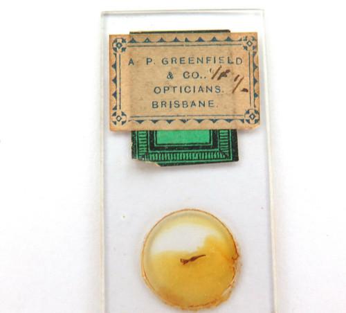 "1890s ""FLY'S SUCKER"" MICROSCOPE SLIDE. A P GREENFIELD, BRISBANE."