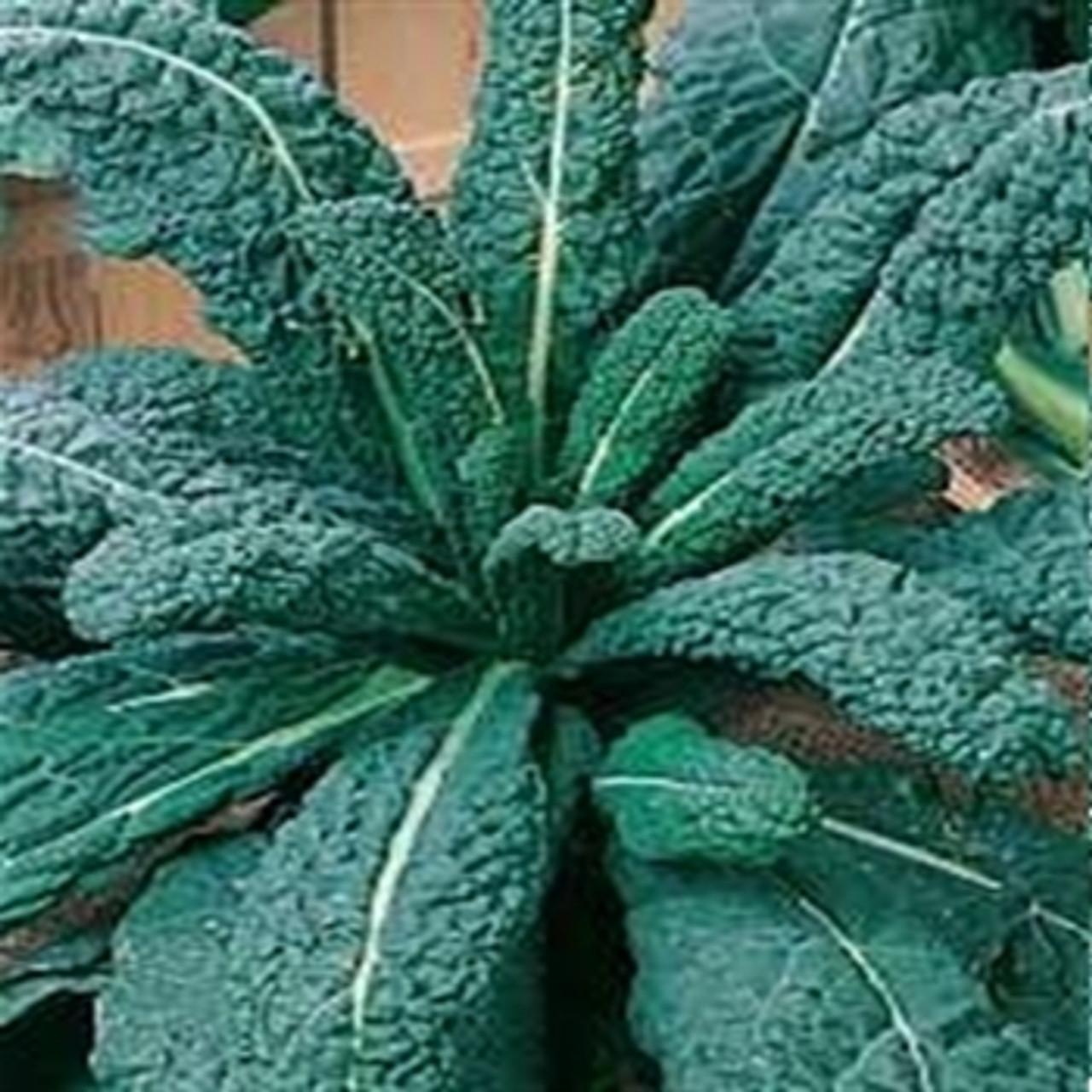 Nero di Toscana 1000 Seeds Vegetable Borecole