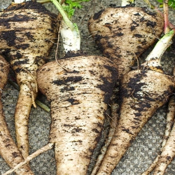 WHITE GEM 200 Seeds ..shorter rooted and ideal for shallow soils PARSNIP