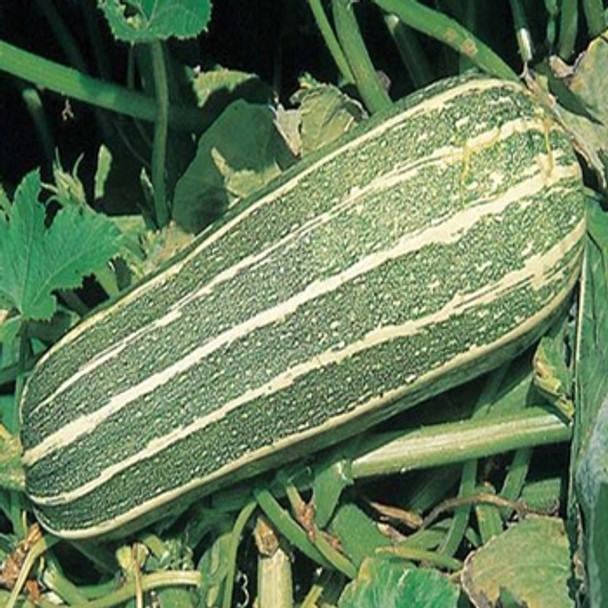 Marrow - F1 Zebra Cross - Seed Megastore - sku 903