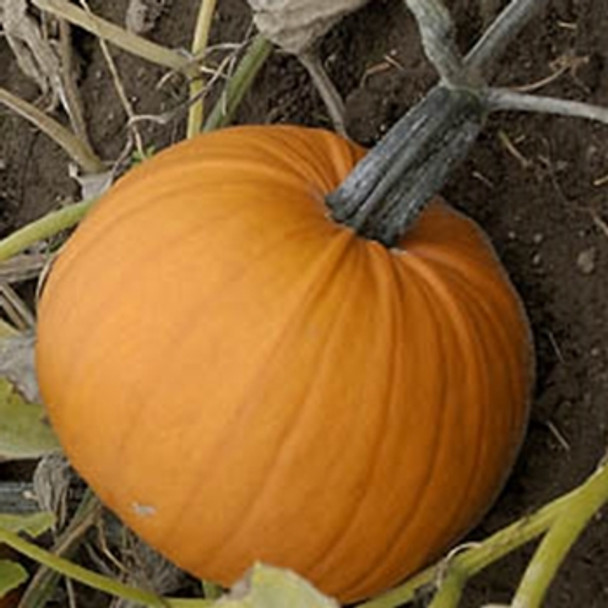 Pumpkin - Tom Fox - Seed Megastore - sku 912