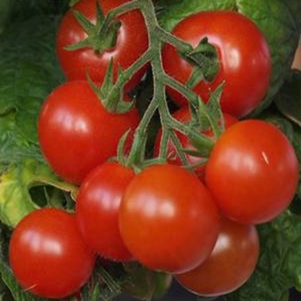 Tomato - Tiny Tim - Seed Megastore - Sku 1010