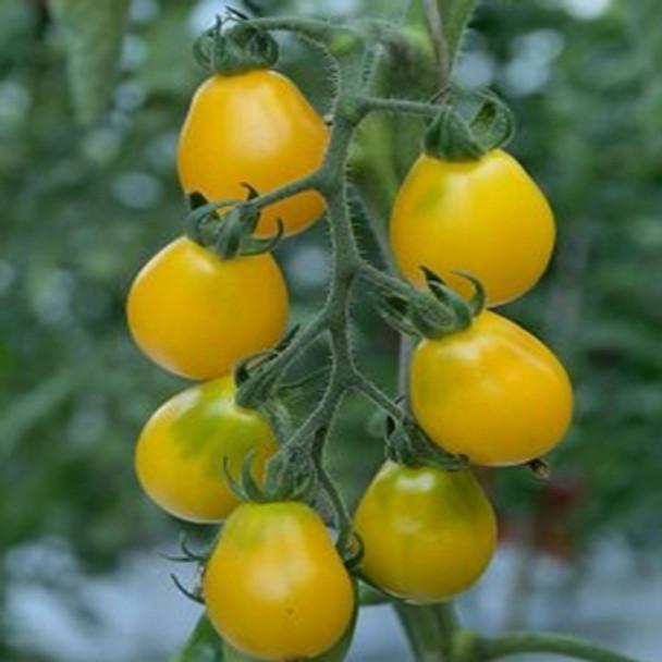 Tomato - F1 Submarine - Seed Megastore - sku 1042