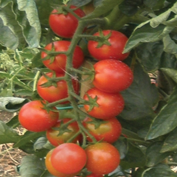Tomato - F1 Zucchero - Seed Megastore - sku 1049