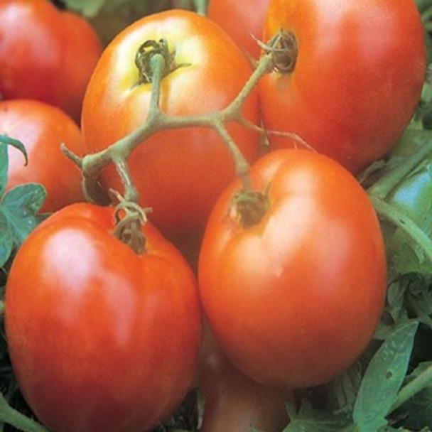 Tomato - Ailsa Craig - Seed Megastore - sku 1050