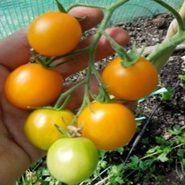 Tomato - Orange Berry - Seed Megastore - sku 1059