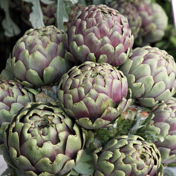 Artichoke - Violetto Di Chioggia