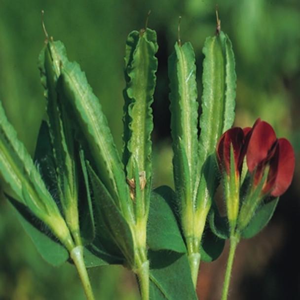 Asparagus Pea - Seed Megastore - sku 5