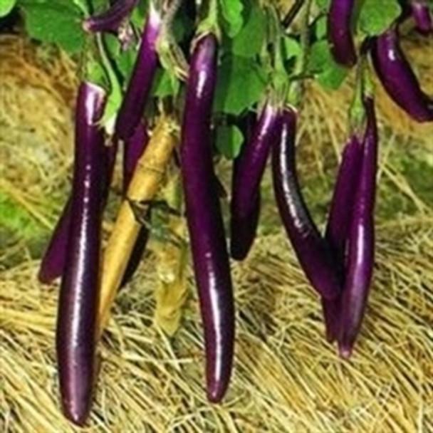 Aubergine - F1 Farmers Long - seed megastore - sku 17