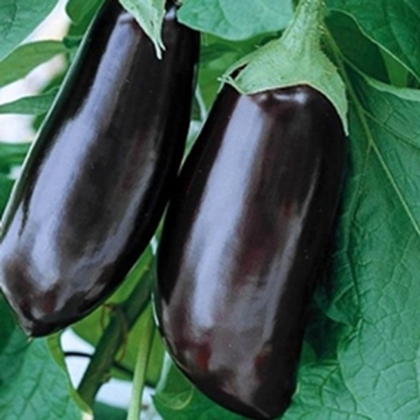 Aubergine - Long Purple - seed megastore - sku 19