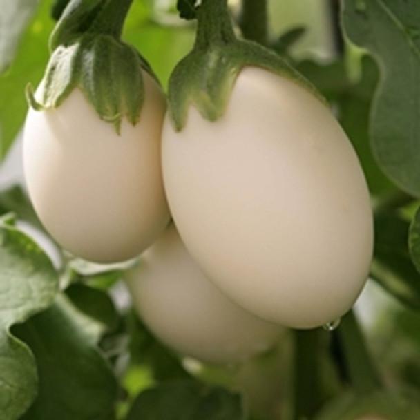 Aubergine - Ivory - seed megastore - sku 26