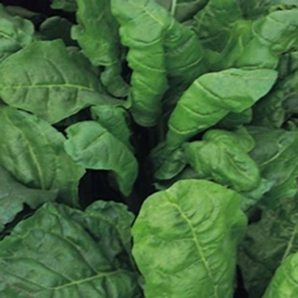Beet Leaf -Perpetual Spinach - seed megastore - sku 33