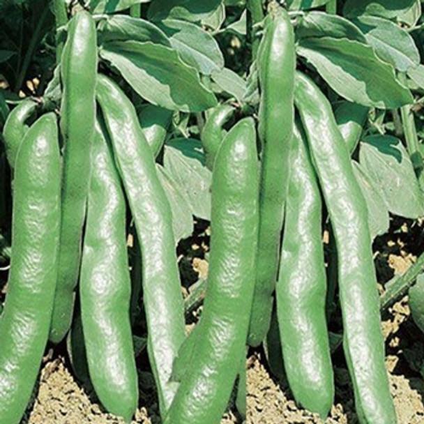 Broad Bean - Grano Violetto - Seed Megastore - sku 88
