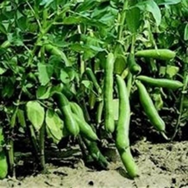 Broad Bean - Witkiem Manita - Seed Mega Store -sku 97