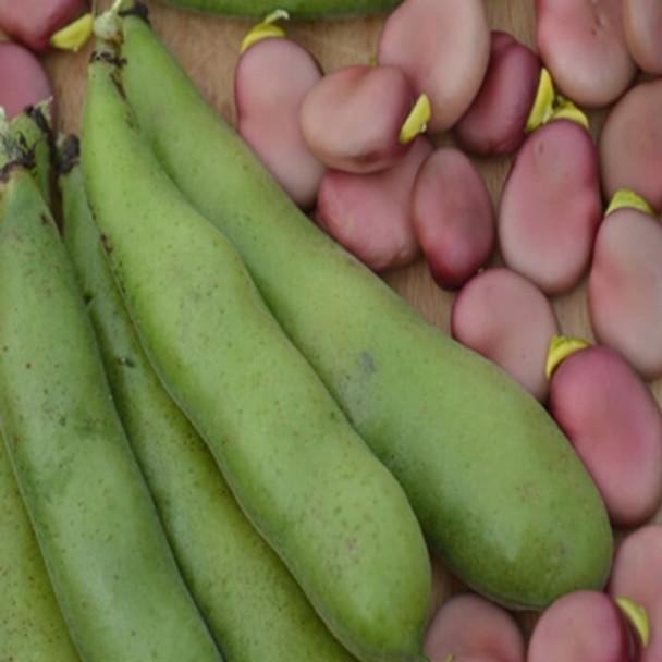 Broad Bean - Karmazyn - Seed Megastore - sku 100