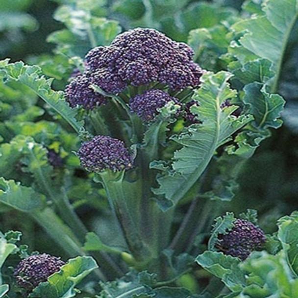 Broccoli - Purple Sprouting F1 Claret - Seed Megastore - Sku 101