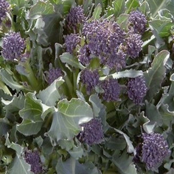 Broccoli - Purple Sprouting Cardinal - Seed Megastore - sku 102