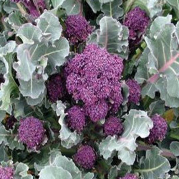 Broccoli - Purple Sprouting F1 Santee - Seed Megastore - sku 104