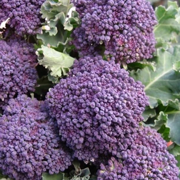 Broccoli - Purple Sprouting Early - Seed Megastore - Sku 105