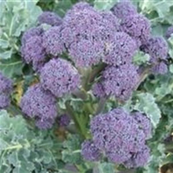 Broccoli - Purple Spouting Mendocino - seed megastore - sku 111