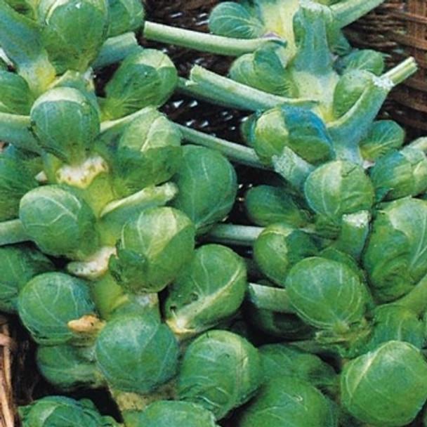 Brussels Sprout -Bedford Darkmar 21 - seed megastore - sku 113