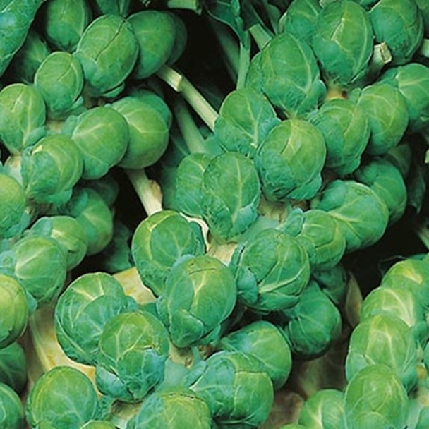 Brussels Sprout - Evesham Special - seed megastore - sku 118