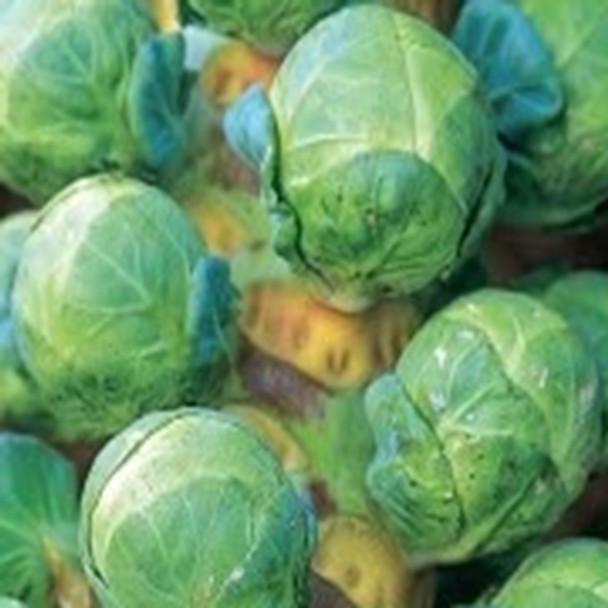 Brussels Sprout - F1 Clodius - seed megastore - sku 123