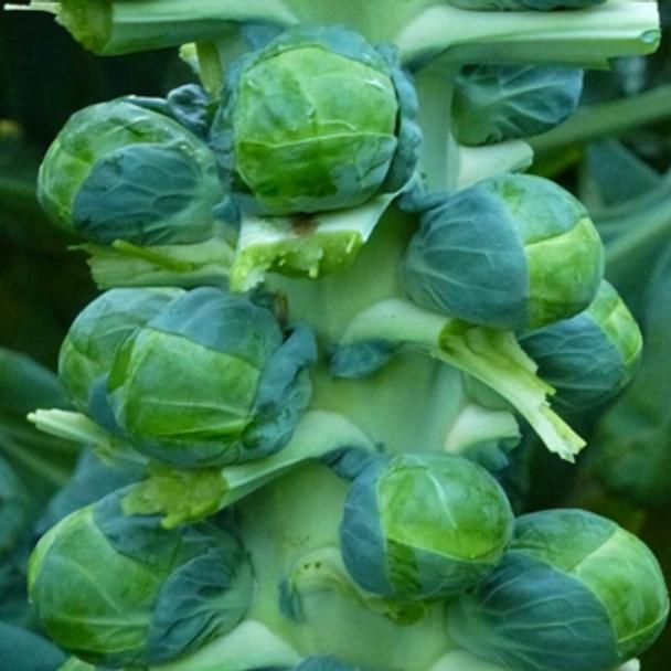 Brussels Sprout -F1 Brodie - seed megastore - sku 126