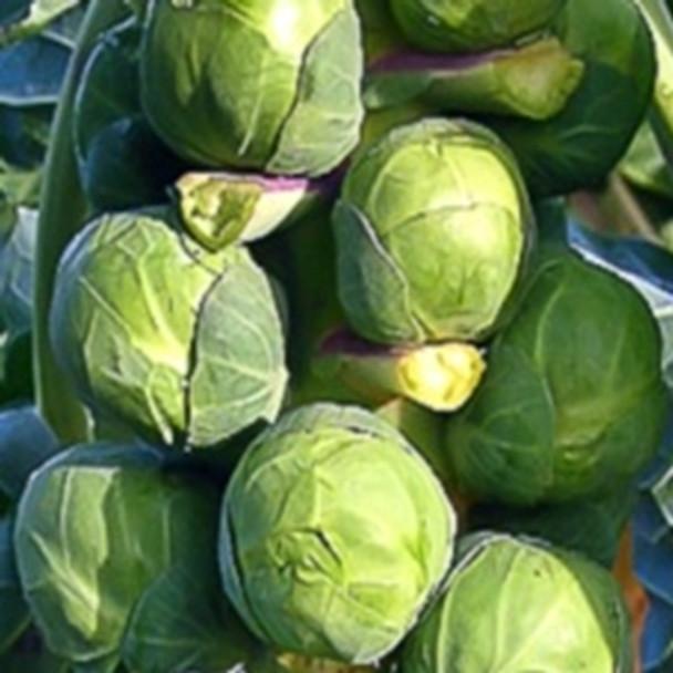 Brussels Sprout -Groninger - seed megastore - sku 136