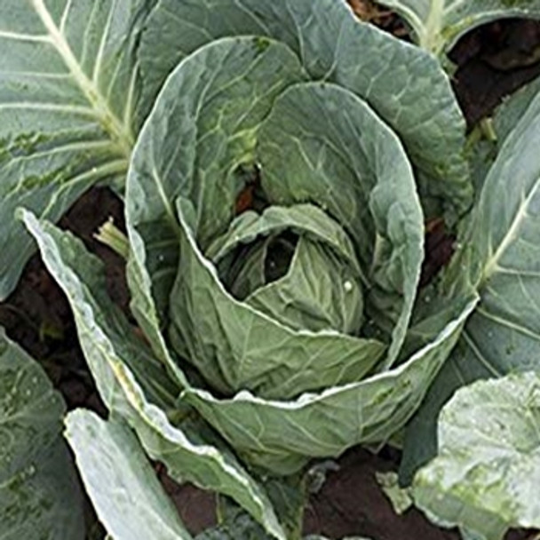 Cabbage - F1 Evergreen - seed megastore - sku 141