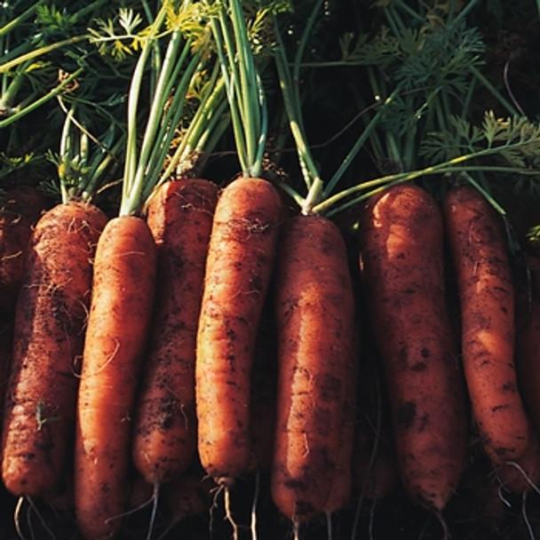 Carrot - Nairobi - Seed Megastore - sku 206