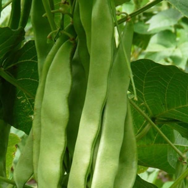 Climbing French Bean - Algarve - Seed Megastore - sku 281