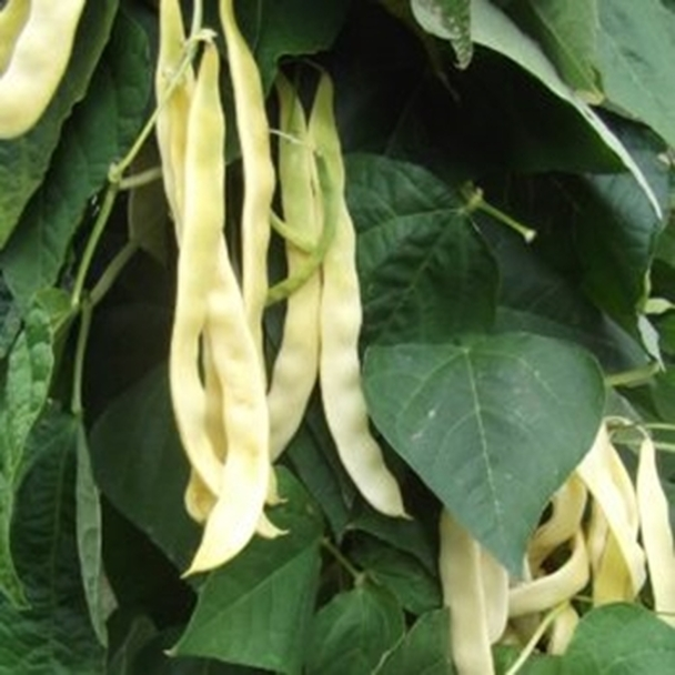 Climbing French Bean - Goldfield - Seed Megastore - sku 287