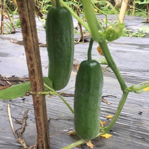 Cucumber - F1 Beit Alpha - Seed megastore - sku 296