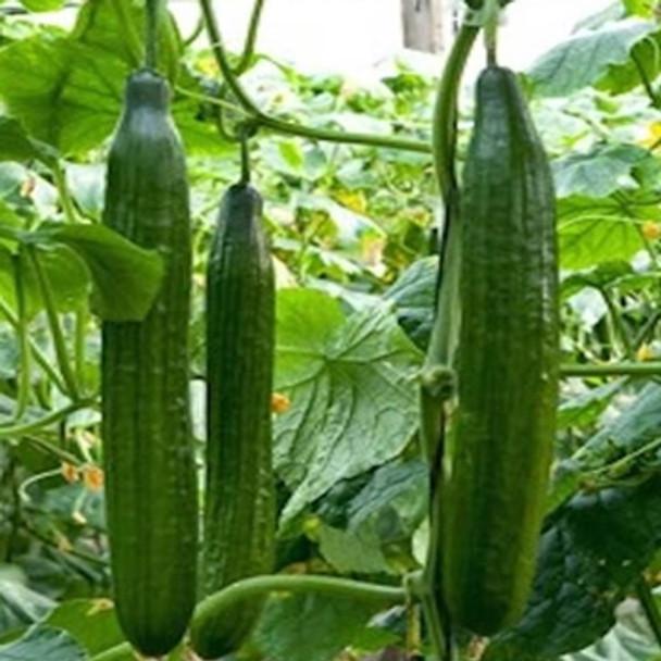 Cucumber - F1 Carmen - Seed Megastore - sku 298