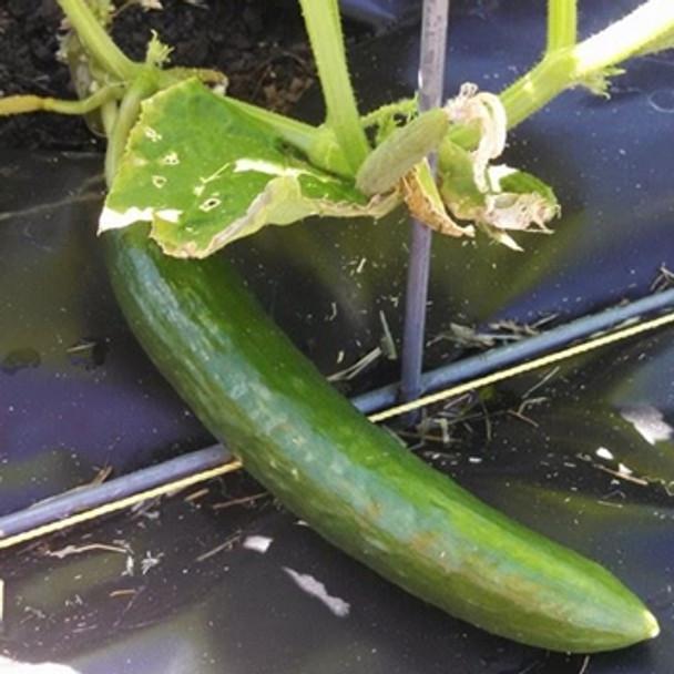 Cucumber - F1 Pepinex - Seed Megastore - sku 304