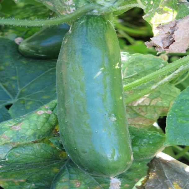 Cucumber - Perfection - Seed Megastore - sku 305