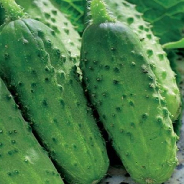 Cucumber - F1 Alhambra - Seed Megastore - sku 309