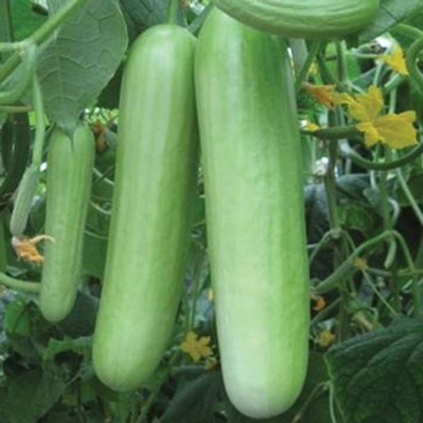 Cucumber - F1 Delistar - Seed Megastore - sku 310