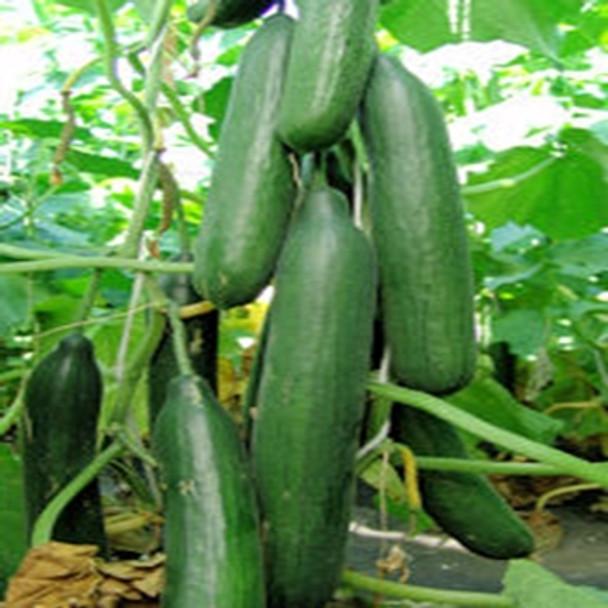 Cucumber - F1 Saturn - Seed Megastore - sku 313