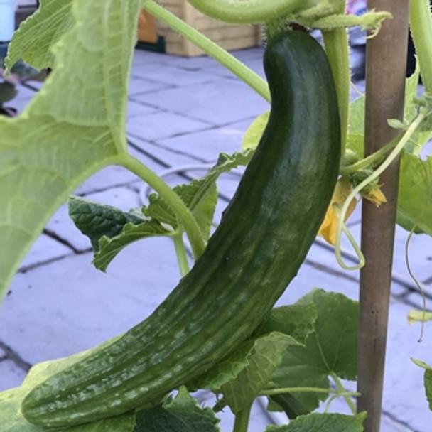 Cucumber - Telegraph Improved - Seed Megastore - sku 316
