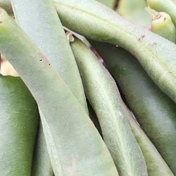 Dwarf French Bean - Tendergreen - sku 337