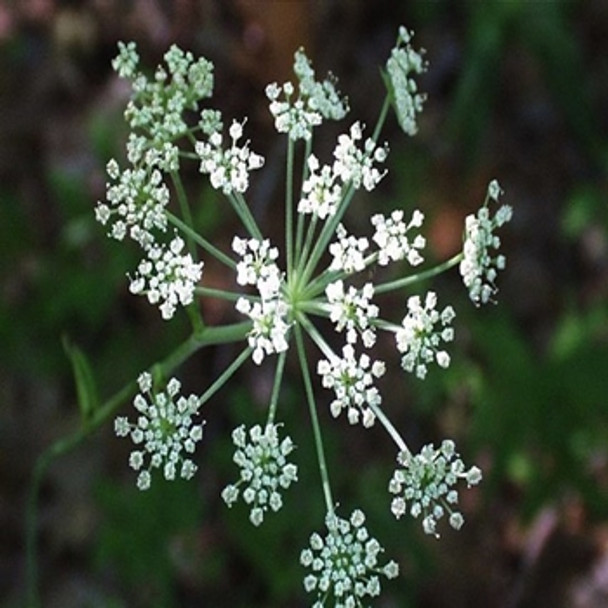 Herb - Angelica - Seed Megastore - sku 356