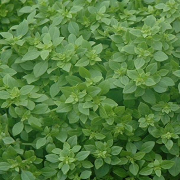 Herb - Basil Aristotle - Seed  Megastore - sku 358