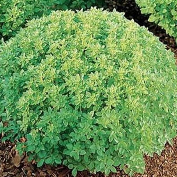 Herb - Basil - Fine Minette - Seed Megastore - sku 366